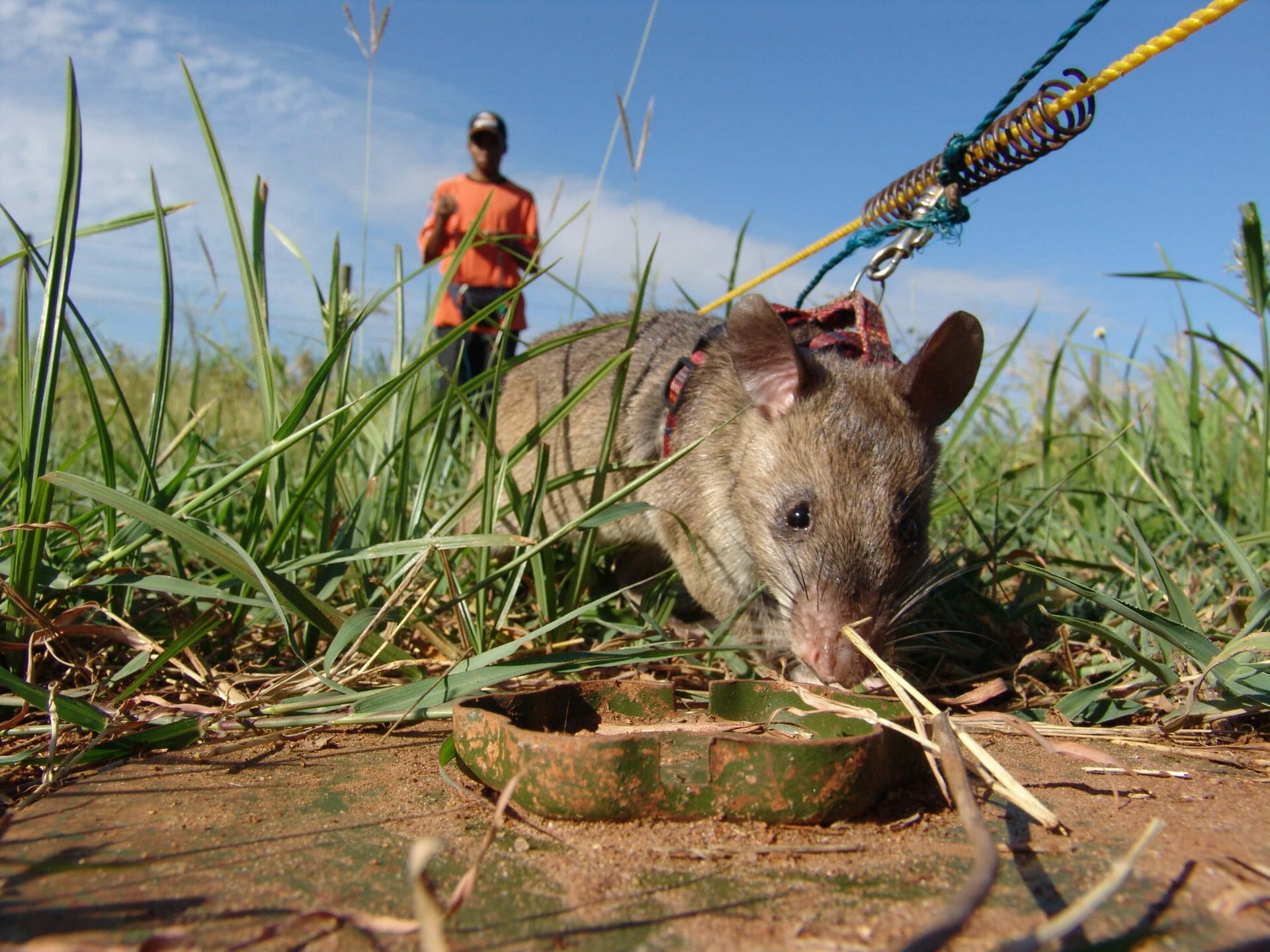 Apopo mine-sweeping rat