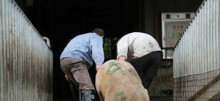 Chinese farm workers drag a pig to slaughter